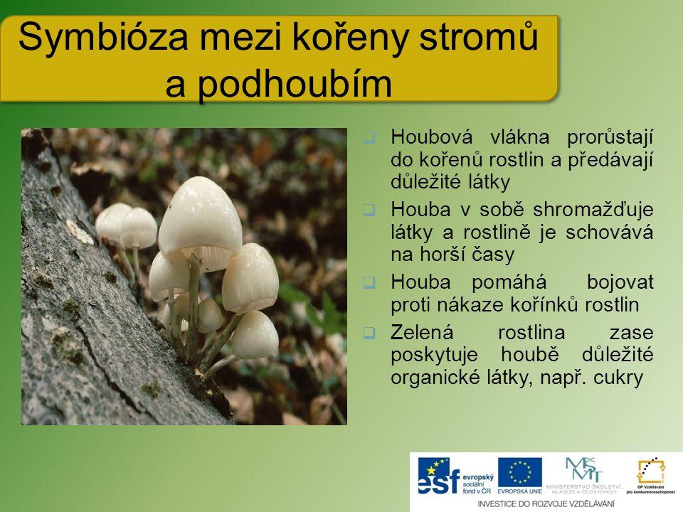 Symbióza mezi kořeny stromů a podhoubím  Houbová vlákna prorůstají do kořenů rostlin a předávají důležité látky  Houba v sobě shromažďuje látky a rostlině je schovává na horší časy  Houba pomáhá bojovat proti nákaze kořínků rostlin  Zelená rostlina zase poskytuje houbě důležité organické látky, např.