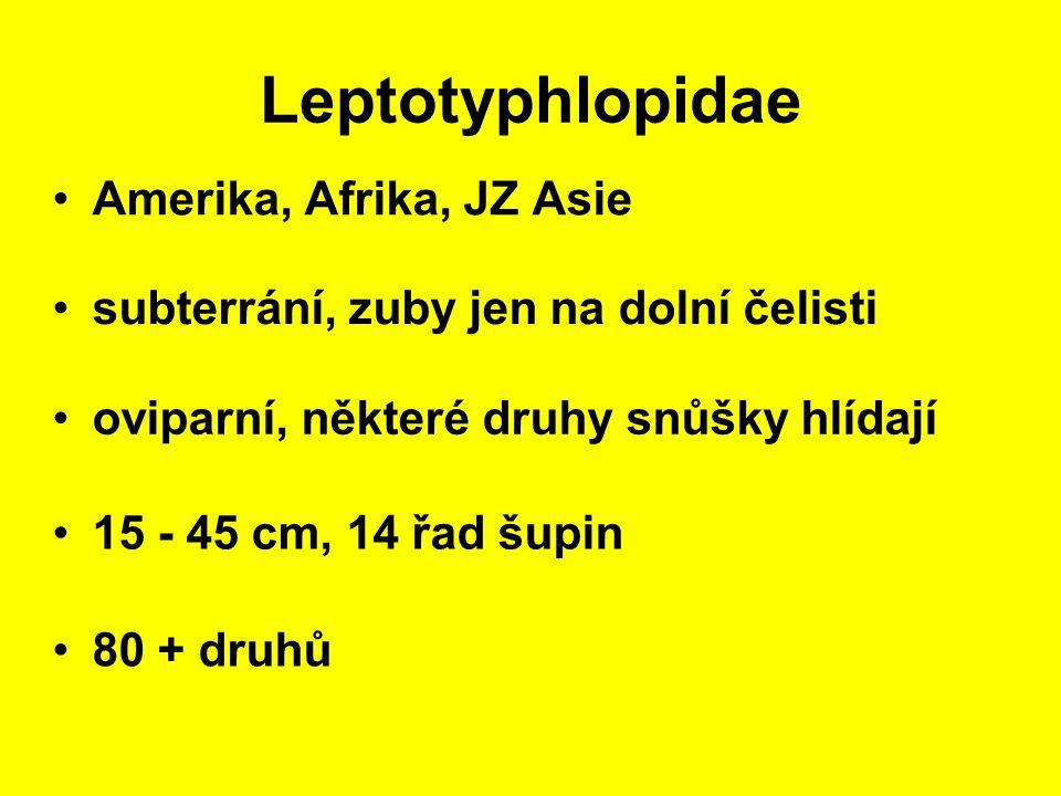 Leptotyphlopidae Amerika, Afrika, JZ Asie 15 - 45 cm, 14 řad šupin subterrání, zuby jen na dolní čelisti 80 + druhů oviparní, některé druhy snůšky hlídají