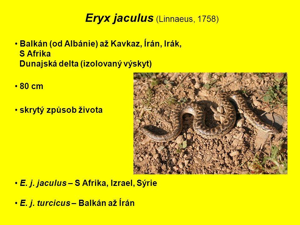 Eryx jaculus (Linnaeus, 1758) Balkán (od Albánie) až Kavkaz, Írán, Irák, S Afrika Dunajská delta (izolovaný výskyt) 80 cm E.