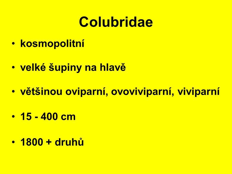 Colubridae kosmopolitní 15 - 400 cm velké šupiny na hlavě 1800 + druhů většinou oviparní, ovoviviparní, viviparní