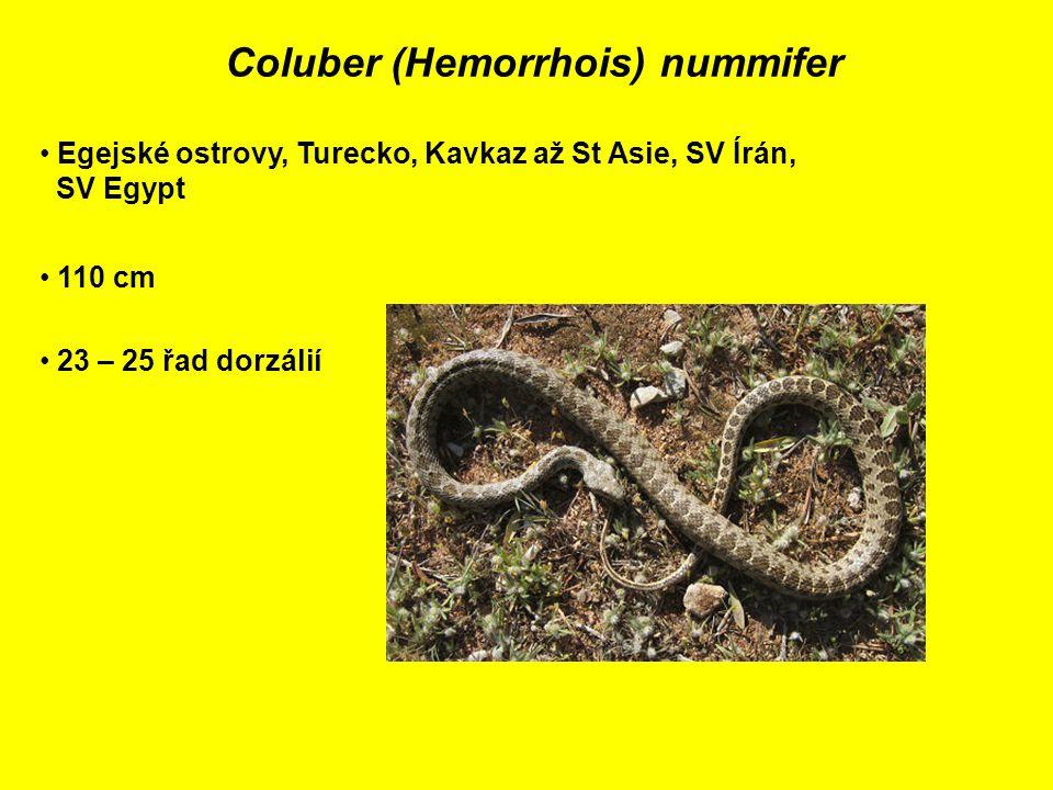 Coluber (Hemorrhois) nummifer Egejské ostrovy, Turecko, Kavkaz až St Asie, SV Írán, SV Egypt 110 cm 23 – 25 řad dorzálií