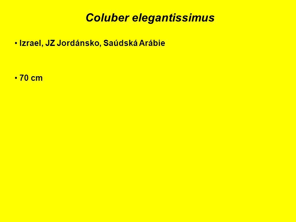 Coluber elegantissimus Izrael, JZ Jordánsko, Saúdská Arábie 70 cm