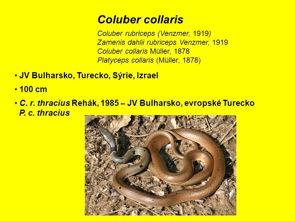 Coluber collaris JV Bulharsko, Turecko, Sýrie, Izrael 100 cm C.