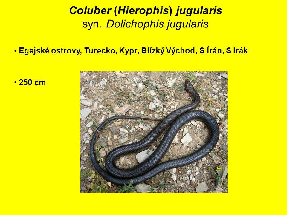 Coluber (Hierophis) jugularis syn.