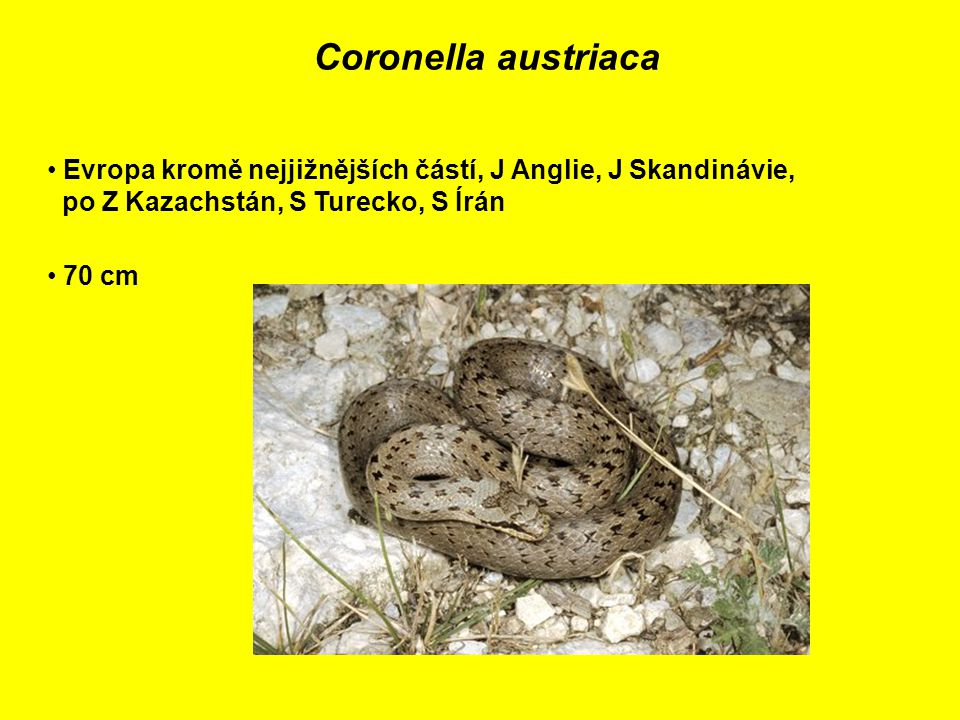 Coronella austriaca Evropa kromě nejjižnějších částí, J Anglie, J Skandinávie, po Z Kazachstán, S Turecko, S Írán 70 cm