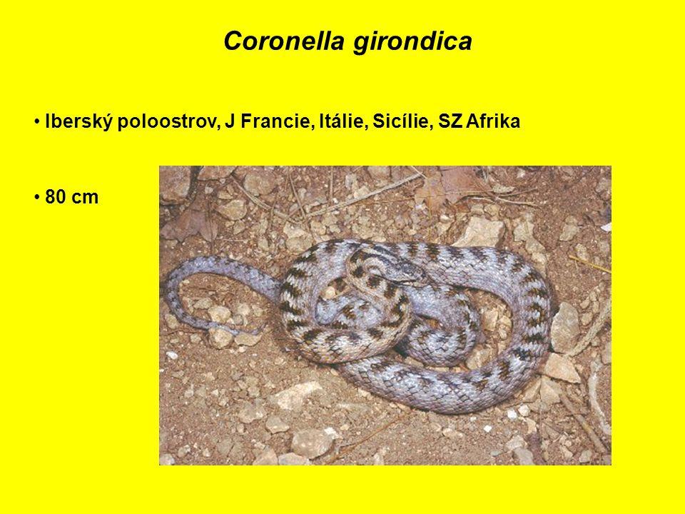 Coronella girondica Iberský poloostrov, J Francie, Itálie, Sicílie, SZ Afrika 80 cm
