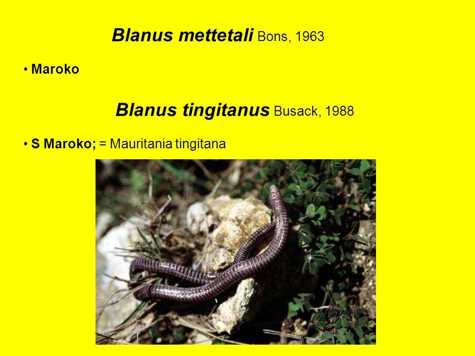Blanus mettetali Bons, 1963 Maroko Blanus tingitanus Busack, 1988 S Maroko; = Mauritania tingitana