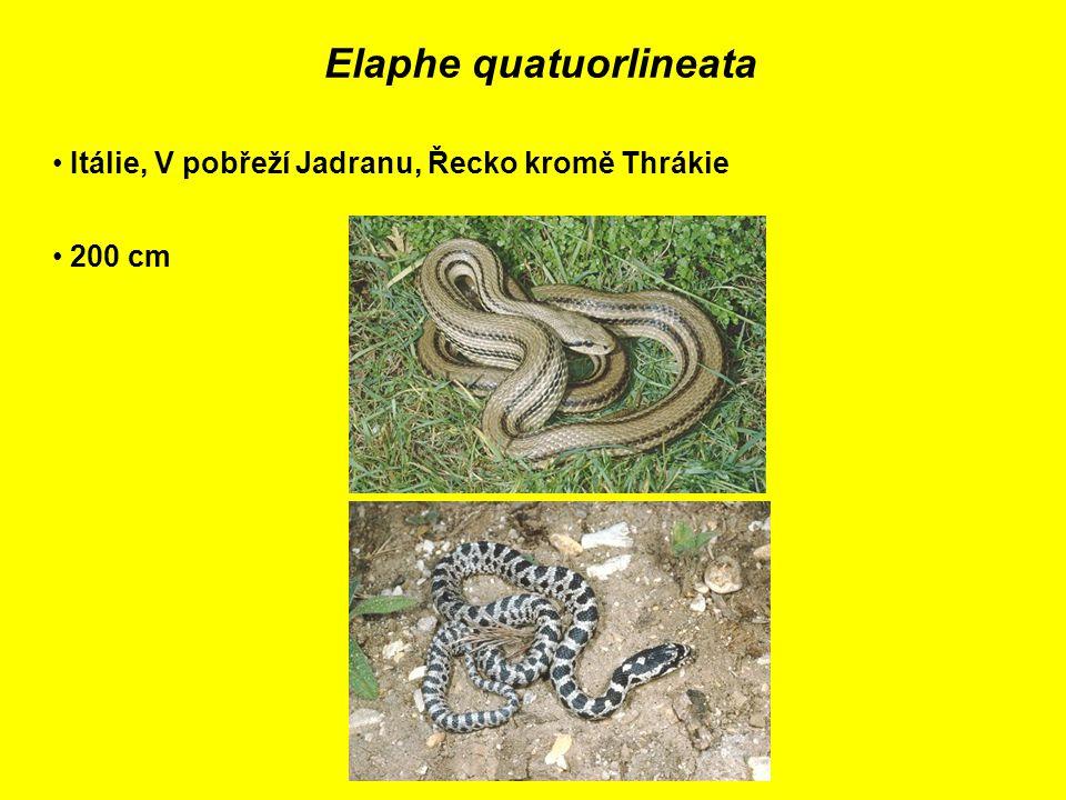 Elaphe quatuorlineata Itálie, V pobřeží Jadranu, Řecko kromě Thrákie 200 cm