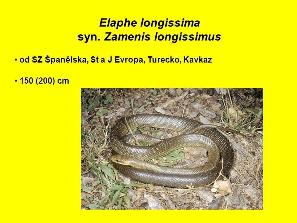 Elaphe longissima syn.