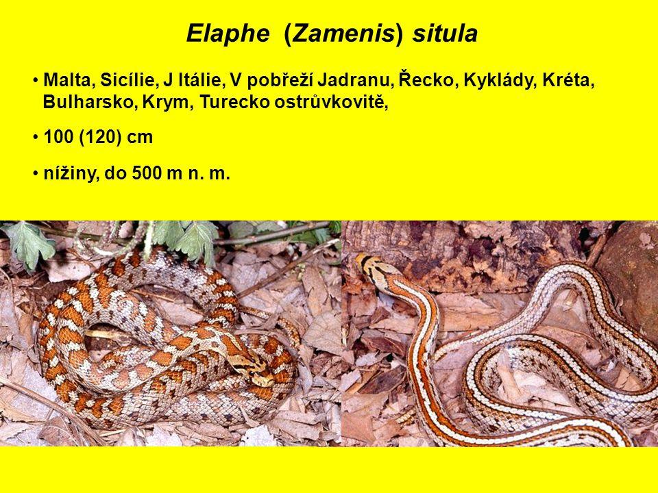 Elaphe (Zamenis) situla Malta, Sicílie, J Itálie, V pobřeží Jadranu, Řecko, Kyklády, Kréta, Bulharsko, Krym, Turecko ostrůvkovitě, 100 (120) cm nížiny, do 500 m n.
