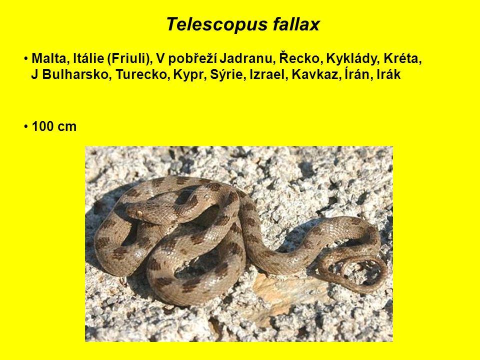 Telescopus fallax Malta, Itálie (Friuli), V pobřeží Jadranu, Řecko, Kyklády, Kréta, J Bulharsko, Turecko, Kypr, Sýrie, Izrael, Kavkaz, Írán, Irák 100 cm