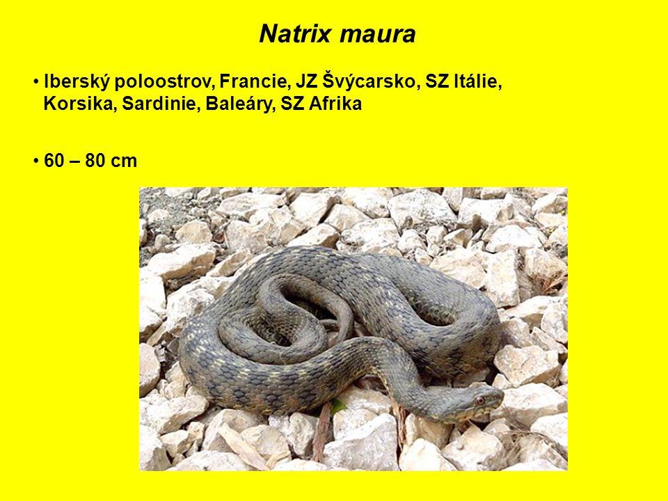 Natrix maura Iberský poloostrov, Francie, JZ Švýcarsko, SZ Itálie, Korsika, Sardinie, Baleáry, SZ Afrika 60 – 80 cm
