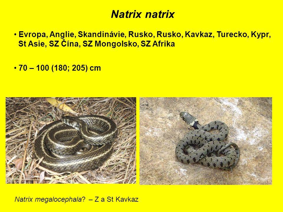 Natrix natrix Evropa, Anglie, Skandinávie, Rusko, Rusko, Kavkaz, Turecko, Kypr, St Asie, SZ Čína, SZ Mongolsko, SZ Afrika 70 – 100 (180; 205) cm Natrix megalocephala.