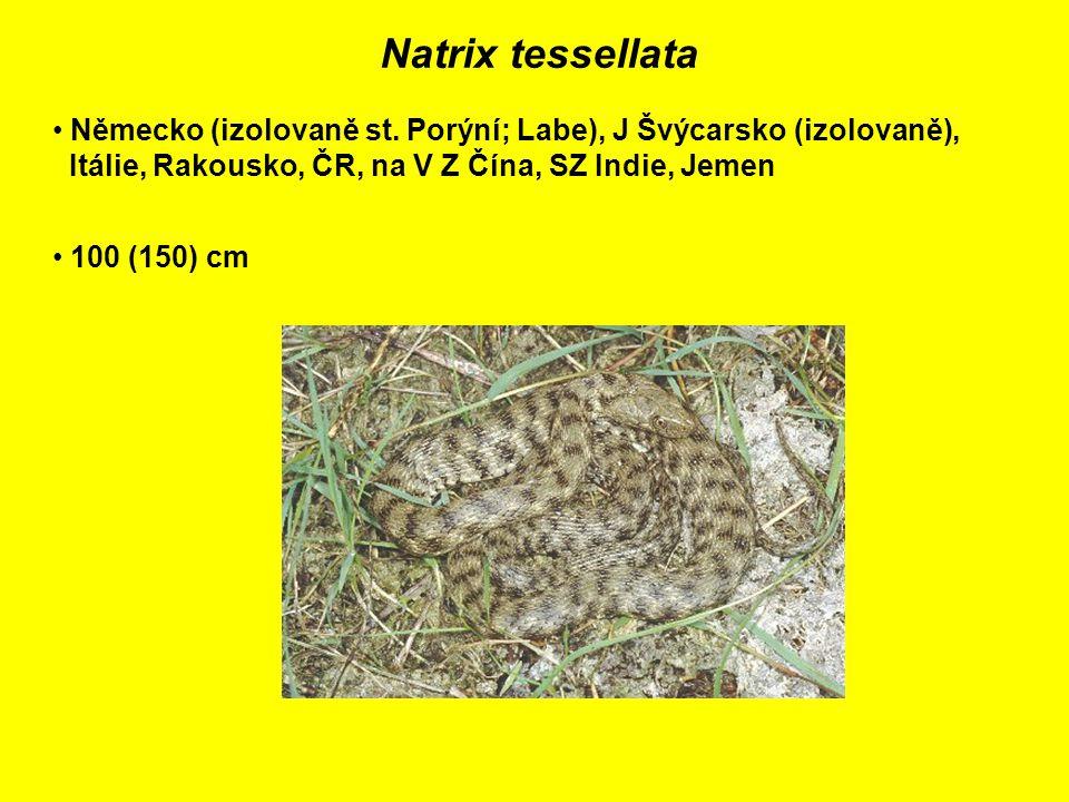 Natrix tessellata Německo (izolovaně st.