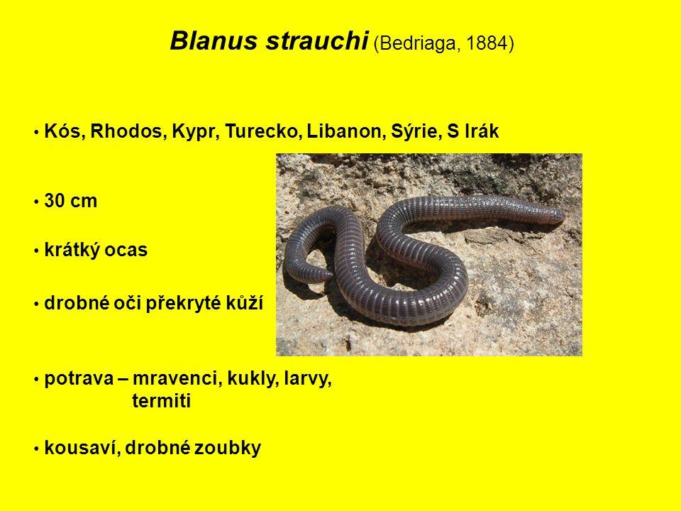Blanus strauchi (Bedriaga, 1884) Kós, Rhodos, Kypr, Turecko, Libanon, Sýrie, S Irák 30 cm potrava – mravenci, kukly, larvy, termiti drobné oči překryté kůží krátký ocas kousaví, drobné zoubky