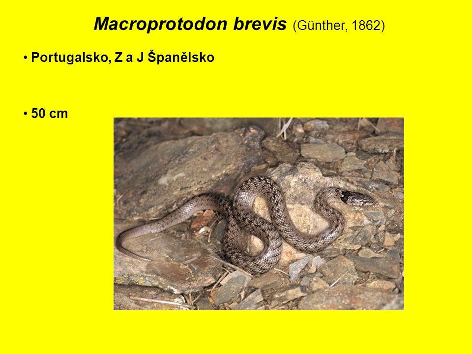 Macroprotodon brevis (Günther, 1862) Portugalsko, Z a J Španělsko 50 cm