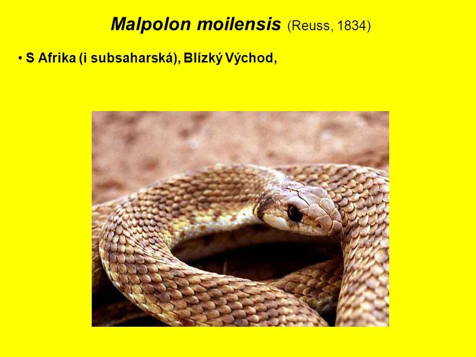 Malpolon moilensis (Reuss, 1834) S Afrika (i subsaharská), Blízký Východ,