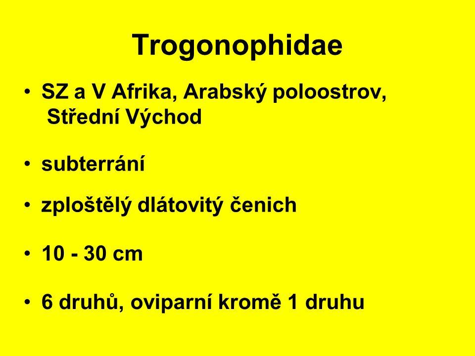 Trogonophidae SZ a V Afrika, Arabský poloostrov, Střední Východ 10 - 30 cm subterrání 6 druhů, oviparní kromě 1 druhu zploštělý dlátovitý čenich