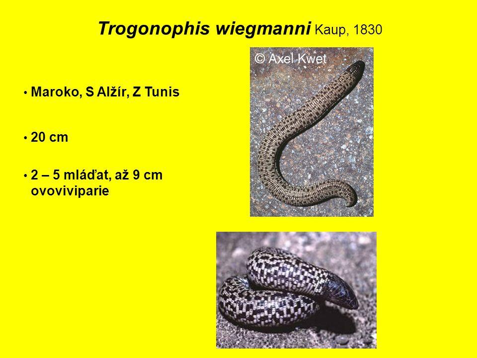 Trogonophis wiegmanni Kaup, 1830 Maroko, S Alžír, Z Tunis 20 cm 2 – 5 mláďat, až 9 cm ovoviviparie