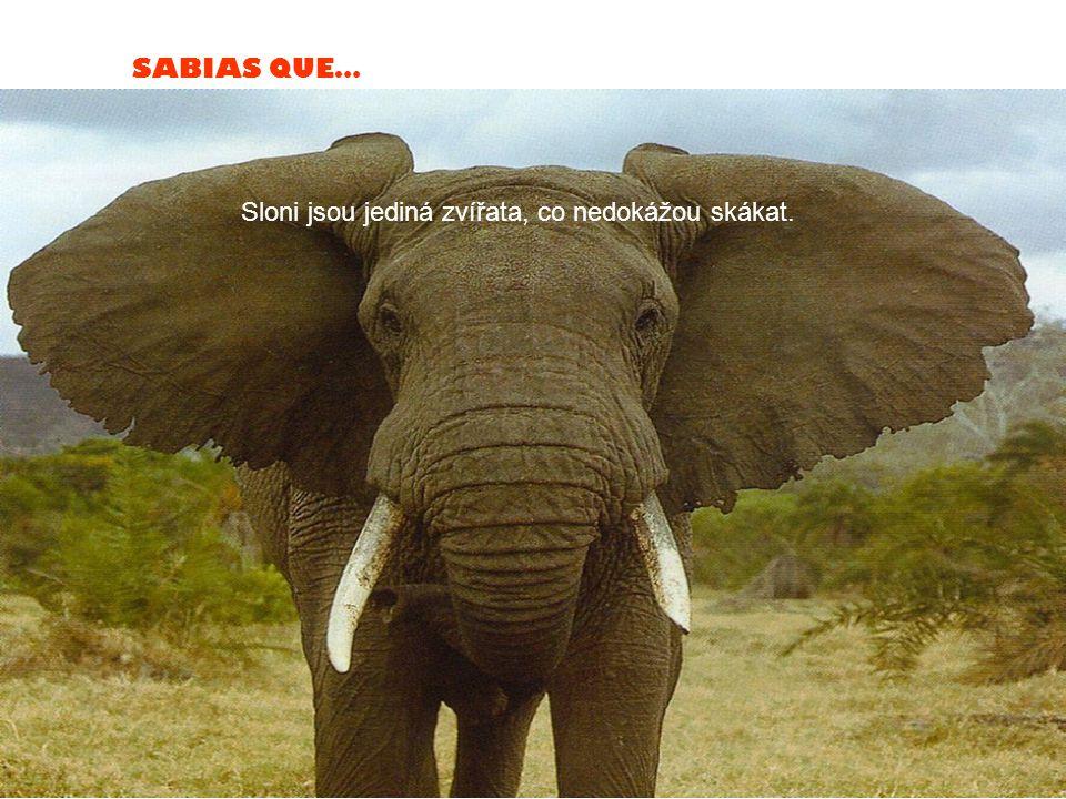 SABIAS QUE… Sloni jsou jediná zvířata, co nedokážou skákat.
