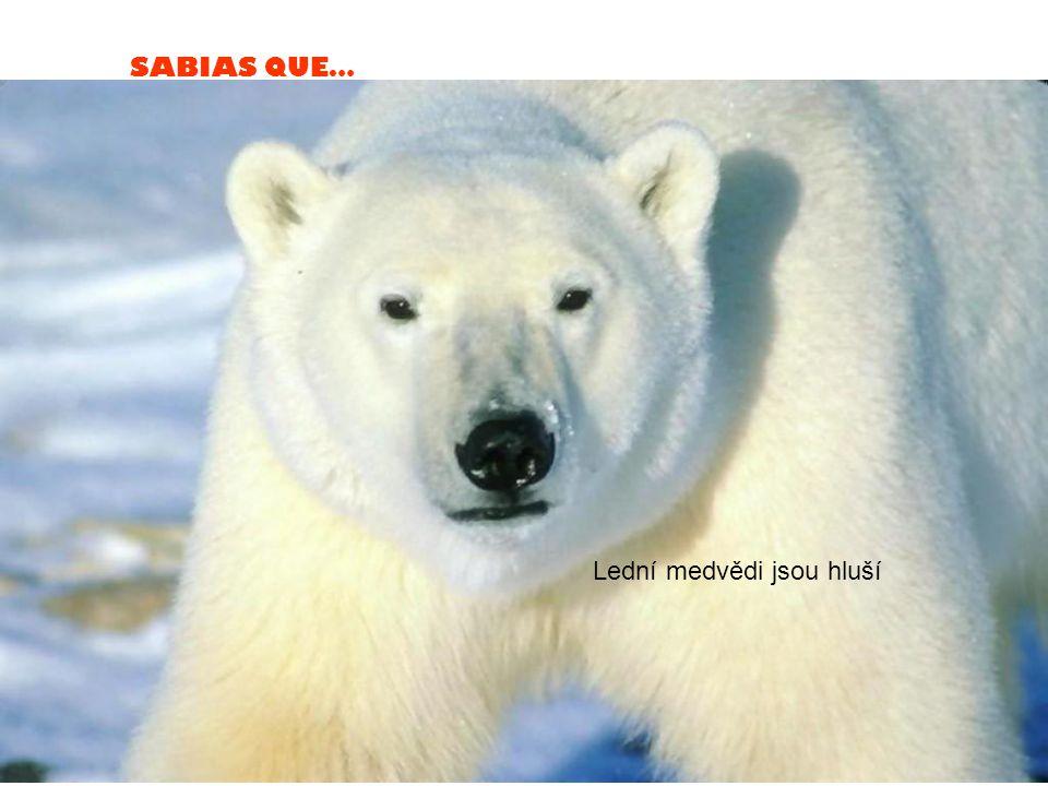SABIAS QUE… Lední medvědi jsou hluší