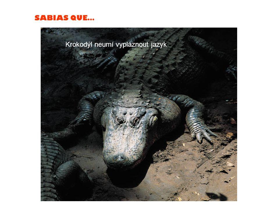 SABIAS QUE… Krokodýl neumí vypláznout jazyk