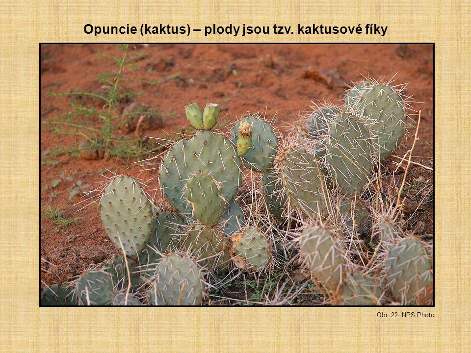 Obr. 22: NPS Photo Opuncie (kaktus) – plody jsou tzv. kaktusové fíky
