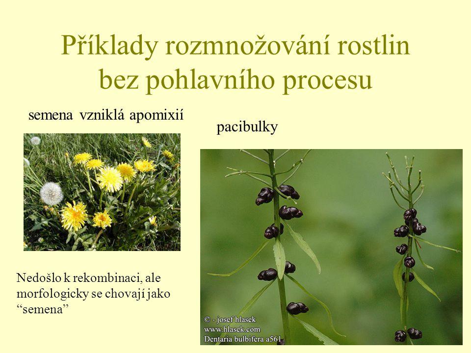 """Příklady rozmnožování rostlin bez pohlavního procesu semena vzniklá apomixií pacibulky Nedošlo k rekombinaci, ale morfologicky se chovají jako """"semena"""
