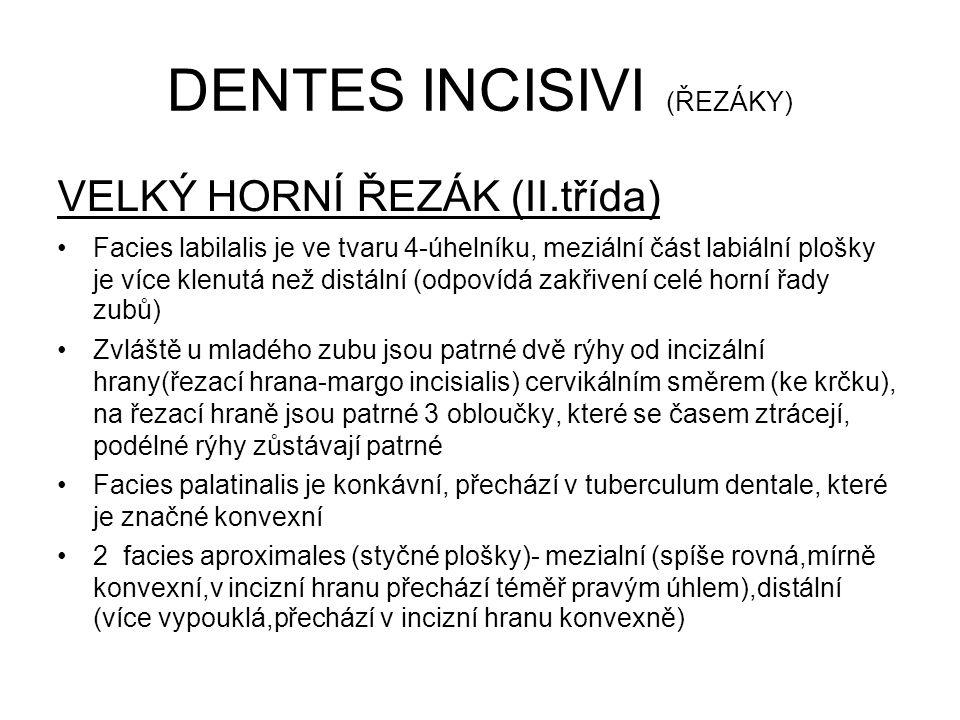 DENTES INCISIVI (ŘEZÁKY) VELKÝ HORNÍ ŘEZÁK (II.třída) Facies labilalis je ve tvaru 4-úhelníku, meziální část labiální plošky je více klenutá než distální (odpovídá zakřivení celé horní řady zubů) Zvláště u mladého zubu jsou patrné dvě rýhy od incizální hrany(řezací hrana-margo incisialis) cervikálním směrem (ke krčku), na řezací hraně jsou patrné 3 obloučky, které se časem ztrácejí, podélné rýhy zůstávají patrné Facies palatinalis je konkávní, přechází v tuberculum dentale, které je značné konvexní 2 facies aproximales (styčné plošky)- mezialní (spíše rovná,mírně konvexní,v incizní hranu přechází téměř pravým úhlem),distální (více vypouklá,přechází v incizní hranu konvexně)