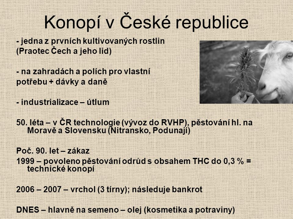 Konopí v České republice - jedna z prvních kultivovaných rostlin (Praotec Čech a jeho lid) - na zahradách a polích pro vlastní potřebu + dávky a daně