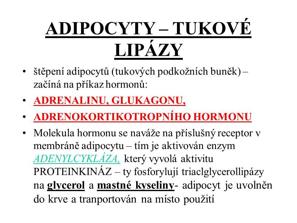 ADIPOCYTY – TUKOVÉ LIPÁZY štěpení adipocytů (tukových podkožních buněk) – začíná na příkaz hormonů: ADRENALINU, GLUKAGONU, ADRENOKORTIKOTROPNÍHO HORMONU Molekula hormonu se naváže na příslušný receptor v membráně adipocytu – tím je aktivován enzym ADENYLCYKLÁZA, který vyvolá aktivitu PROTEINKINÁZ – ty fosforylují triaclglycerollipázy na glycerol a mastné kyseliny- adipocyt je uvolněn do krve a tranportován na místo použití