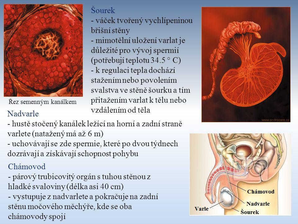 Předstojná žláza (prostata) - přídatná pohlavní žláza, která obkružuje močovou trubici těsně pod močovým měchýřem - produkuje sekret zvyšující životaschopnost spermií a jejich pohyblivost Semenné váčky - párové žlázy uložené za močovým měchýřem - produkují hustý, na cukr bohatý sekret vyživující spermie - vývod žlázy ústí do chámovodu v místě, kde se chámovod zanořuje do prostaty