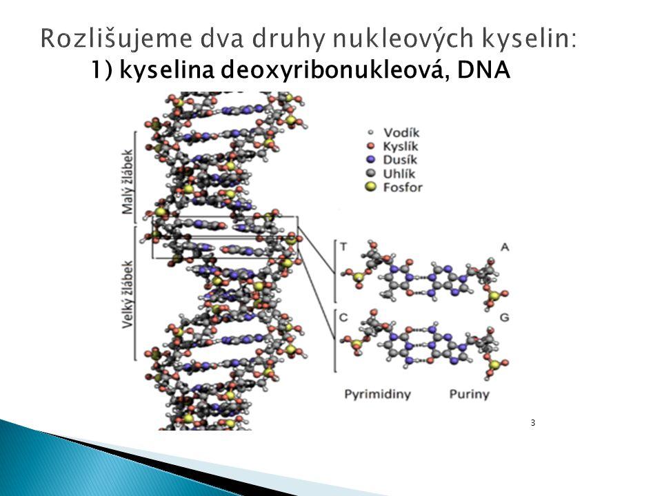 1) kyselina deoxyribonukleová, DNA 3