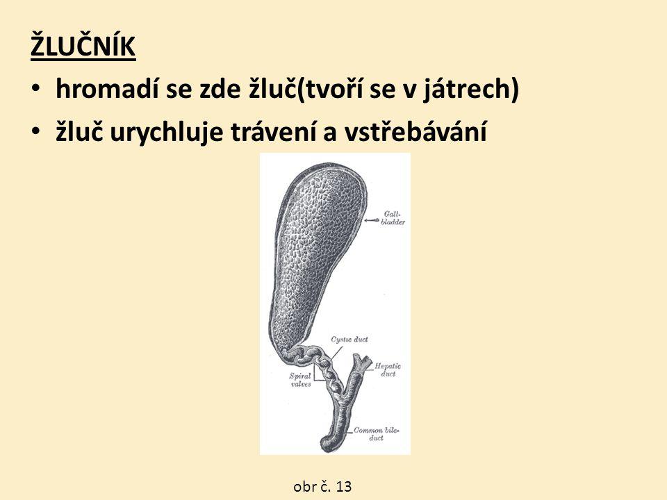 obr č. 13 ŽLUČNÍK hromadí se zde žluč(tvoří se v játrech) žluč urychluje trávení a vstřebávání