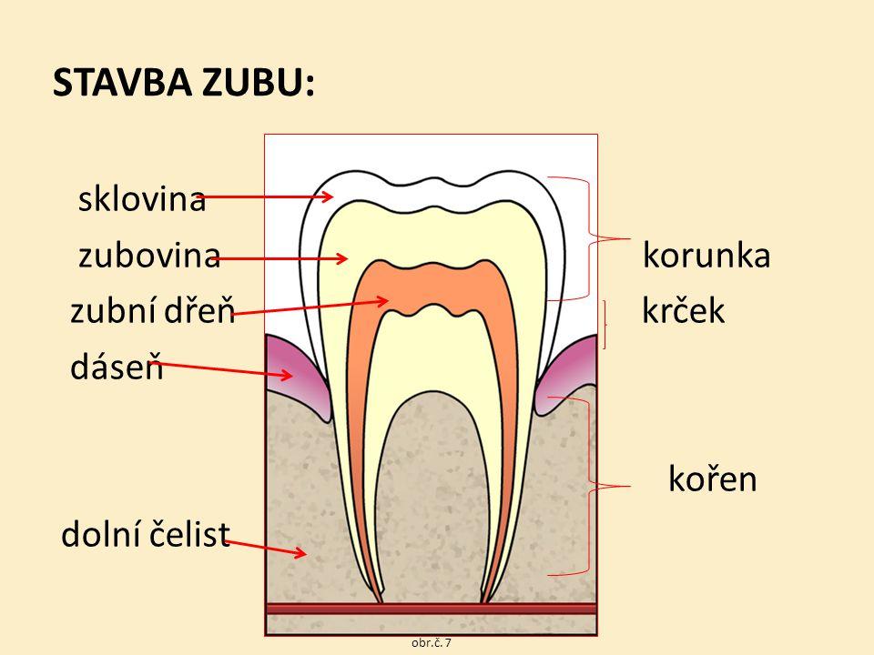STAVBA ZUBU: sklovina zubovina korunka zubní dřeň krček dáseň kořen dolní čelist obr.č. 7