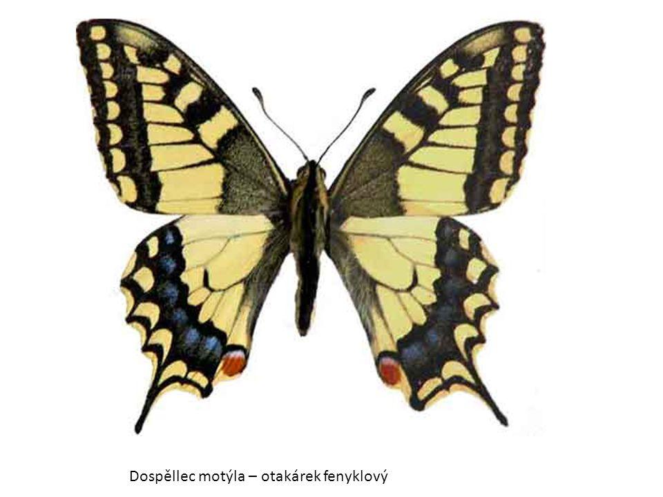 Dospěllec motýla – otakárek fenyklový