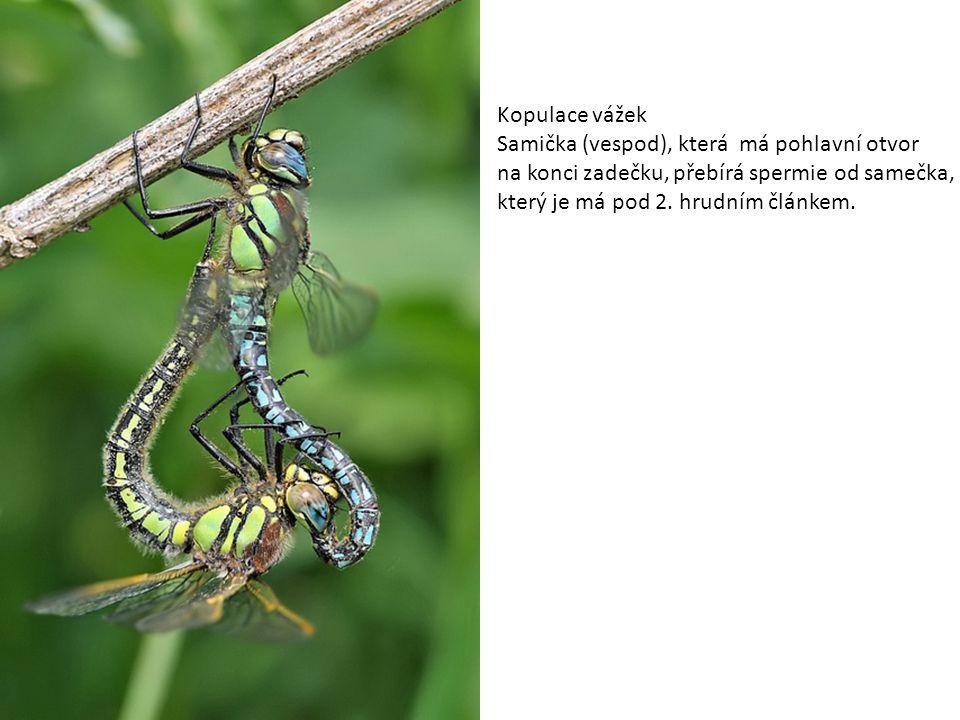 Kopulace vážek Samička (vespod), která má pohlavní otvor na konci zadečku, přebírá spermie od samečka, který je má pod 2. hrudním článkem.