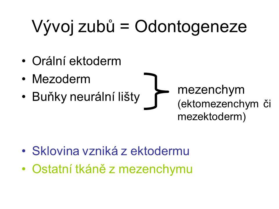 Vývoj zubů = Odontogeneze mezenchym (ektomezenchym či mezektoderm) Orální ektoderm Mezoderm Buňky neurální lišty Sklovina vzniká z ektodermu Ostatní t