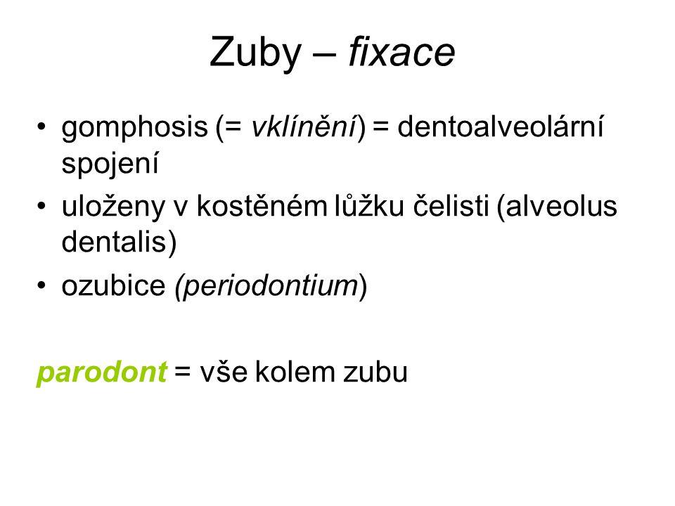 Zuby – fixace gomphosis (= vklínění) = dentoalveolární spojení uloženy v kostěném lůžku čelisti (alveolus dentalis) ozubice (periodontium) parodont =