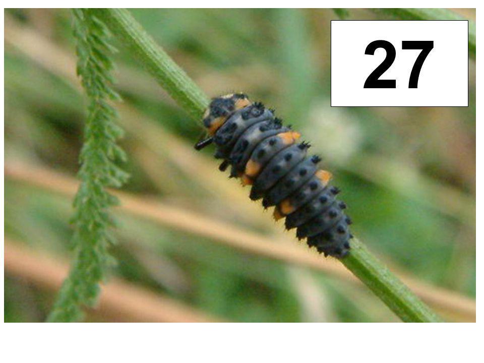 Slunéčko sedmitečné - larva 27
