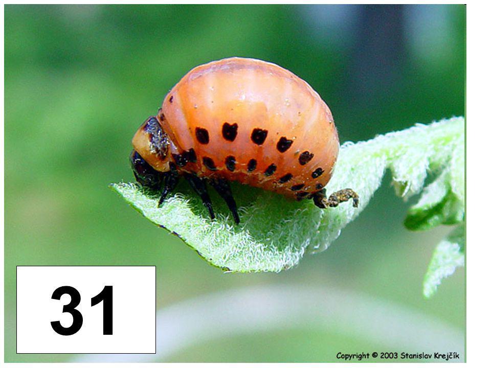 Mandelinka bramborová - larva 31