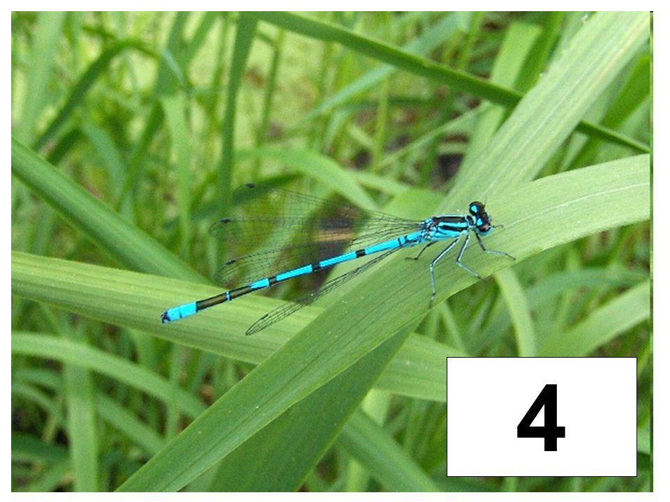 Chrobáci (chrobák jarní) 35