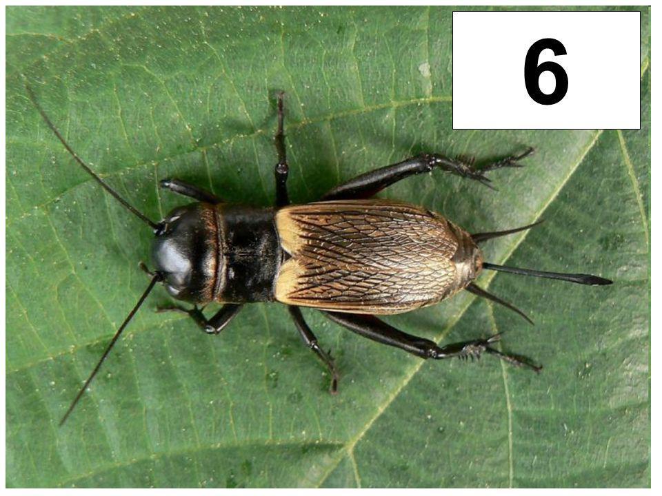 Cvrček polní 6
