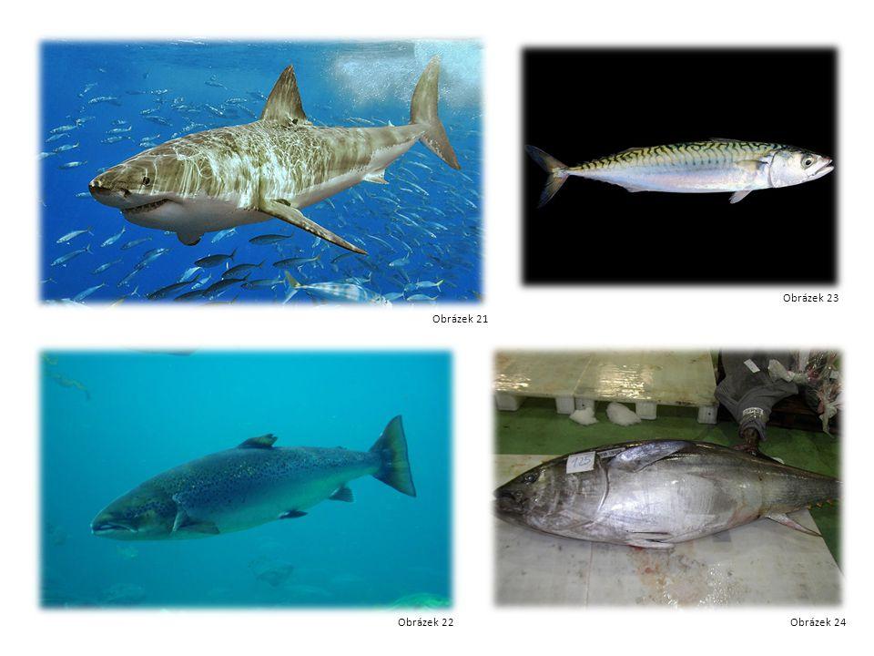 Žralok Losos Makrela tuňák Obrázek 21 Obrázek 22 Obrázek 23 Obrázek 24