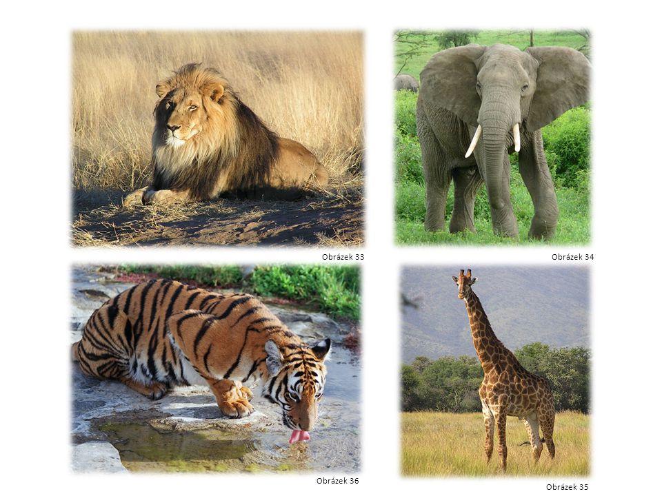 Lev Slon Žirafa tygr Obrázek 33Obrázek 34 Obrázek 35 Obrázek 36