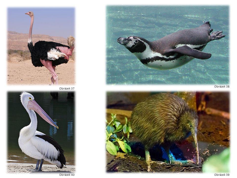 Pštros Tučňák Kiwi pelikán Obrázek 37 Obrázek 38 Obrázek 39Obrázek 40