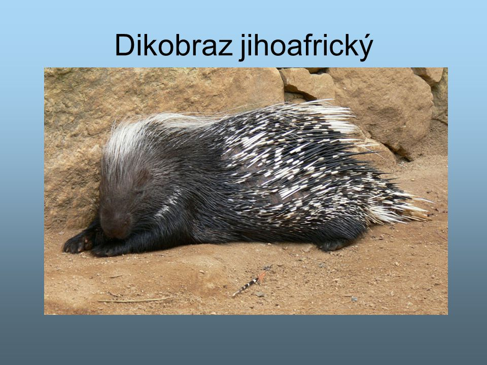 Dikobraz jihoafrický