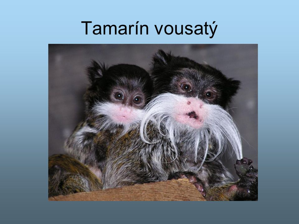 Tamarín vousatý