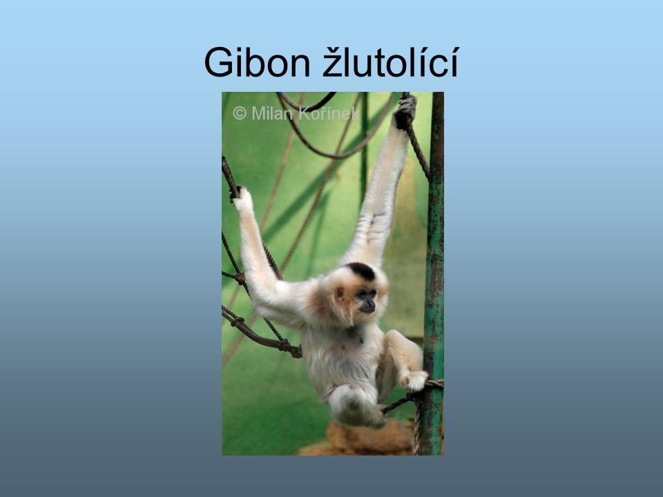 Gibon žlutolící