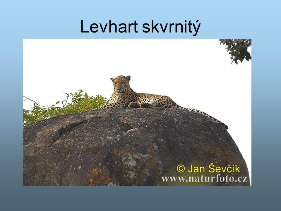 Levhart skvrnitý